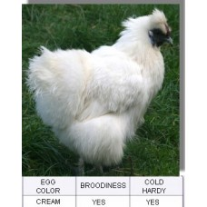 Splash Silkie Bantam Chicken