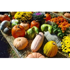 Organic Pumkin and Gourds Mix Seeds